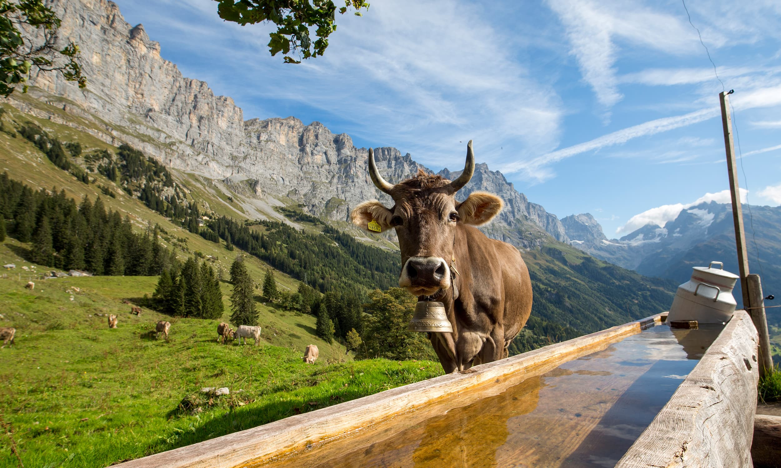 cow-birchlaui-davidbirri